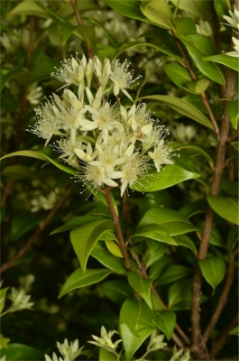 Backhousia myrtifolia