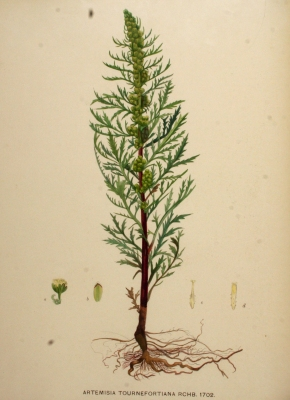 Artemisia tournefortiana